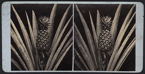 Joseph Philibert Girault de Prangey (1804-1892), Ananas, vers 1863. Épreuves sur papier albuminé à partir d'un négatif sur verre au collodion au format stéréoscopique, montées sur carton, 17 × 8,5 cm. Chalon-sur-Saône, musée Nicéphore-Niépce, ancienne collection de Jean-Baptiste Rendatler. Photo © musée Nicéphore Niépce, Ville de Chalon-sur-Saône.