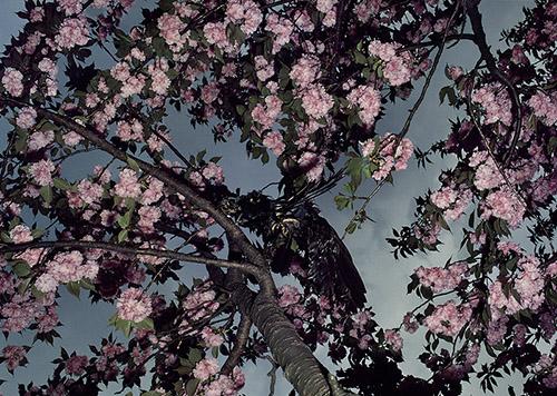 Shomei Tomatsu, Cherry Blossoms, Shinkuku Gyoen, 1980. Tirage jet d'encre, 59 x 42 cm. © Shomei Tomatsu – INTERFACE.